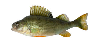 Zoetwater vissen (fluviatillis Perca) royalty-vrije stock foto's