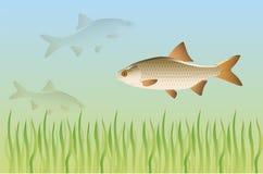 Zoetwater vissen onder water stock illustratie