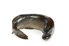 Zoetwater vissensnoeken stock afbeelding