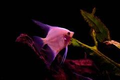 Zoetwateraquariumvissen, Zeeëngel van de rivier van Amazonië royalty-vrije stock afbeeldingen