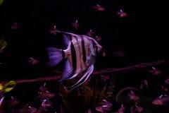 Zoetwateraquariumvissen, Zeeëngel van de rivier van Amazonië stock afbeelding