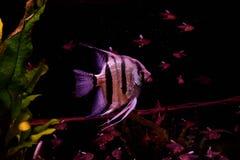 Zoetwateraquariumvissen, Zeeëngel van de rivier van Amazonië royalty-vrije stock foto's