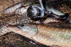 Zoetwatersnoekenvissen De zoetwatersnoekenvis ligt op rond keepnet met visserijvangst daarin en hengel met spoel royalty-vrije stock fotografie