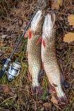 Zoetwatersnoekenvissen Twee zoetwatersnoeken vissen op vissenlangsligger en hengel met spoel op gele bladeren in de herfsttijd royalty-vrije stock fotografie