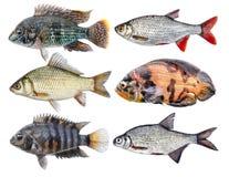 Zoetwatervissen geïsoleerde reeks Royalty-vrije Stock Foto