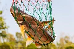 Zoetwatervissen in visnet Stock Foto