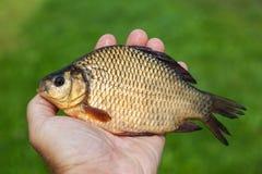 Zoetwatervissencrucian in de hand stock afbeeldingen