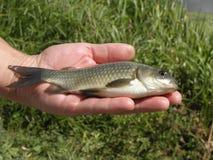 Zoetwatervissenkarper op een hand Stock Foto
