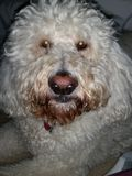 Zoey mi perro Imagen de archivo libre de regalías