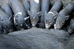 Zogende Zwarte Iberische Biggetjes Stock Afbeelding