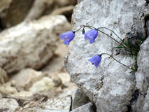 Zois' bellflower Royalty Free Stock Photography