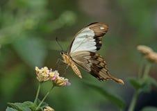 Zombeteiro Swallowtail fotos de stock royalty free