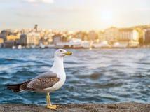 zomer Istanboel van de zeemeeuw de bevindende zonsondergang stock afbeelding