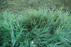 zomer van het aard de groene gras Royalty-vrije Stock Foto