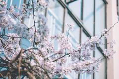 Zomerai Yoshino,Sakura stock photo