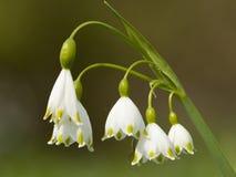 Zomerklokje, flocon de neige d'été, blé aestivum de Leucojum image stock