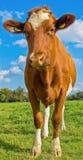 Zomerse rode en witte koe met oormerken op groen gebied met blauwe hemel Royalty-vrije Stock Foto