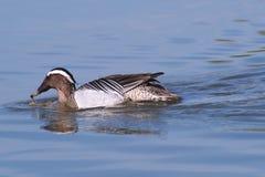 Zomertaling die eend die (Anaquerquedula) ploeteren zwemmen Royalty-vrije Stock Afbeeldingen