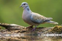 Zomertortel, Turtle Dove, Streptopelia turtur royalty free stock photography