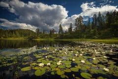 Zomervegetatie op het kleine bergmeer dichtbij Jervskogen, Jonsvatnet-gebied in middennoorwegen stock foto's