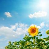 Zon in blauwe hemel over zonnebloem Royalty-vrije Stock Fotografie