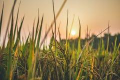 Zon die achter gras en tarwelandbouwbedrijf plaatsen stock afbeeldingen