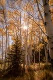 Zon die door Aspen Trees glanzen Royalty-vrije Stock Foto
