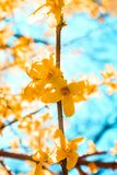 Zon die door bloeiende gele bloemboom glanzen stock foto's