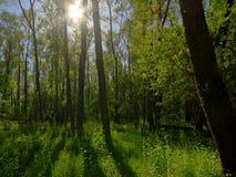 Zon die door boomboomstammen glanzen in een bos in Vinderhoute, Vlaanderen royalty-vrije stock afbeeldingen