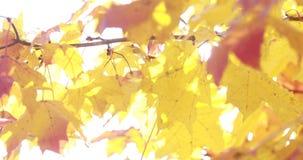 Zon die door dalingsbladeren glanzen die in wind blazen esdoorn stock video