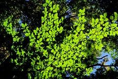 Zon die door de bladeren glanzen royalty-vrije stock fotografie