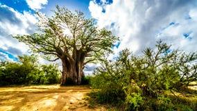 Zon die door een Baobabboom glanzen in het Nationale Park van Kruger stock foto's
