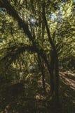 Zon die door een bos van Californische sequoiabomen in Victoria Vancouver Island, Canada glanzen royalty-vrije stock afbeelding
