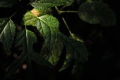 Zon die door glanzen uitstralende groene bladeren Royalty-vrije Stock Afbeelding