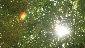 Zon die door groene bamboebladeren glimmen, getrokken nadruk stock video
