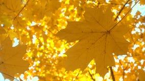 Zon die door mooie gouden de herfstbladeren glanzen, esdoorn stock videobeelden