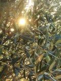 Zon die door olijftakken komen Stock Afbeelding