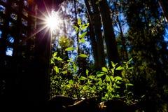 Zon die helder met gloed op groene spruit glanzen stock foto's