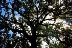 Zon die hoewel een donkere boom van een blauwe hemel glanzen Stock Foto