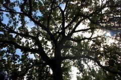 Zon die hoewel een donkere boom van een blauwe hemel glanzen Stock Foto's