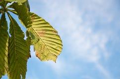 Zon die op kastanjebladeren glanzen in linkerkant van beeld Een deel van reeks van 5 beelden Stock Foto