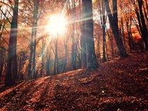 Zon door de herfstbos Stock Fotografie