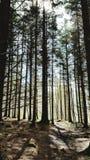 Zon door lange bomen Stock Afbeeldingen