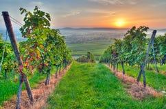 Zon in een wijngaard Stock Afbeelding