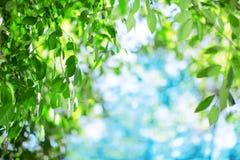 Zon en bladeren Groene bladeren op een achtergrond van blauwe hemel en zon Royalty-vrije Stock Foto