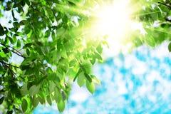 Zon en bladeren Groene bladeren op een achtergrond van blauwe hemel en zon Royalty-vrije Stock Foto's