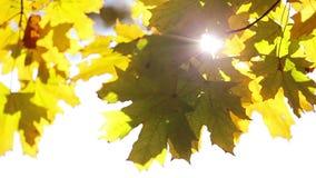 Zon en esdoornbladeren stock footage