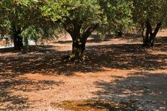 Zon gietende schaduwen door Olive Trees Stock Afbeeldingen