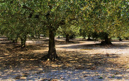 Zon gietende schaduwen door Olive Trees Royalty-vrije Stock Foto