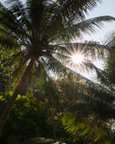 Zon glanzende throug luifels van kokospalmen bij a Stock Fotografie